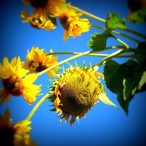 Sunflowers lomo