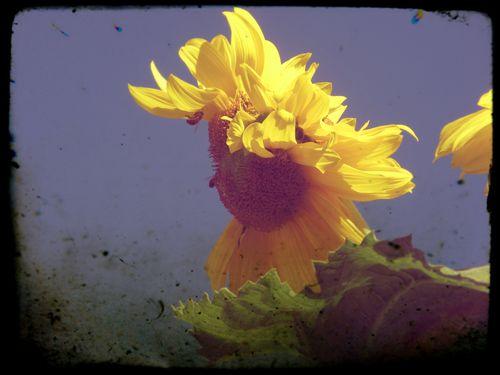 Pixlr sunflower