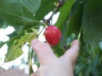 Grabbing_cherry